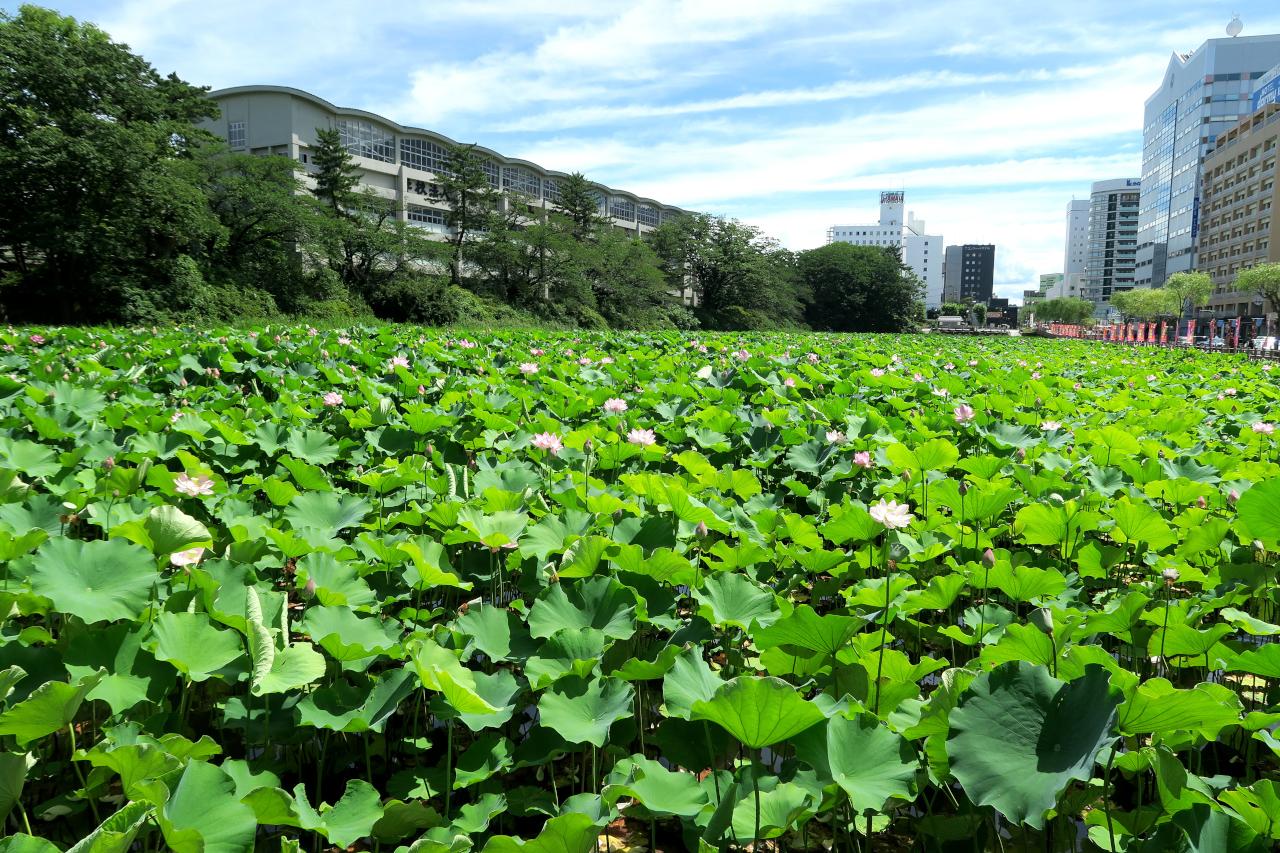 千秋公園近くの蓮の花(秋田市)