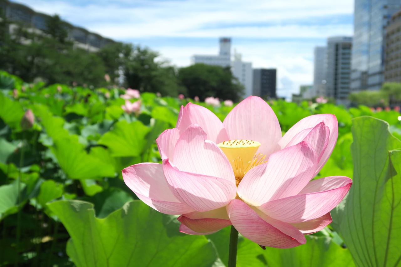 千秋公園蓮の花(秋田市)