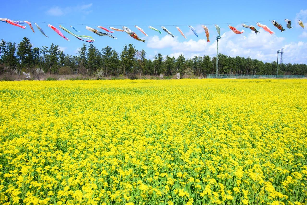 サンルーラル大潟 菜の花 こいのぼり