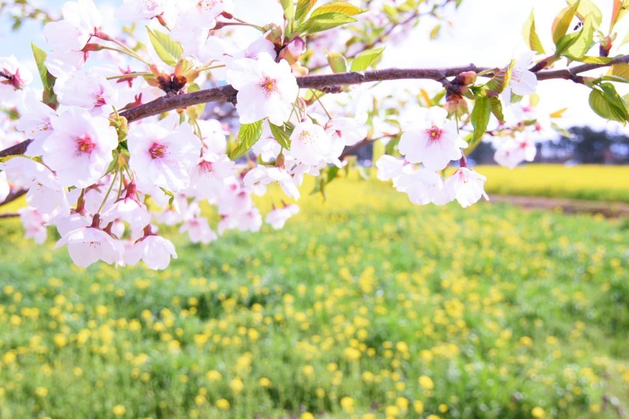 桜と菜の花 サンルーラル 大潟