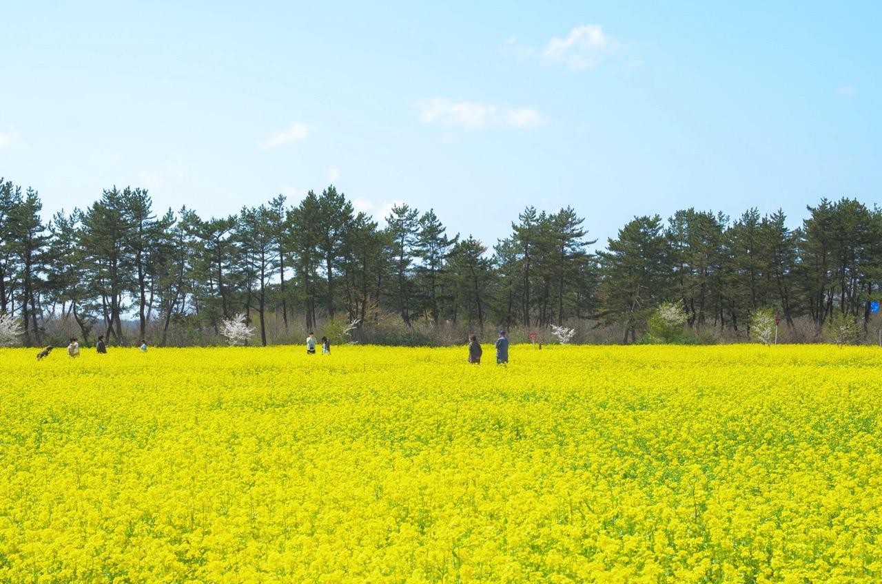 サンルーラル 大潟 菜の花
