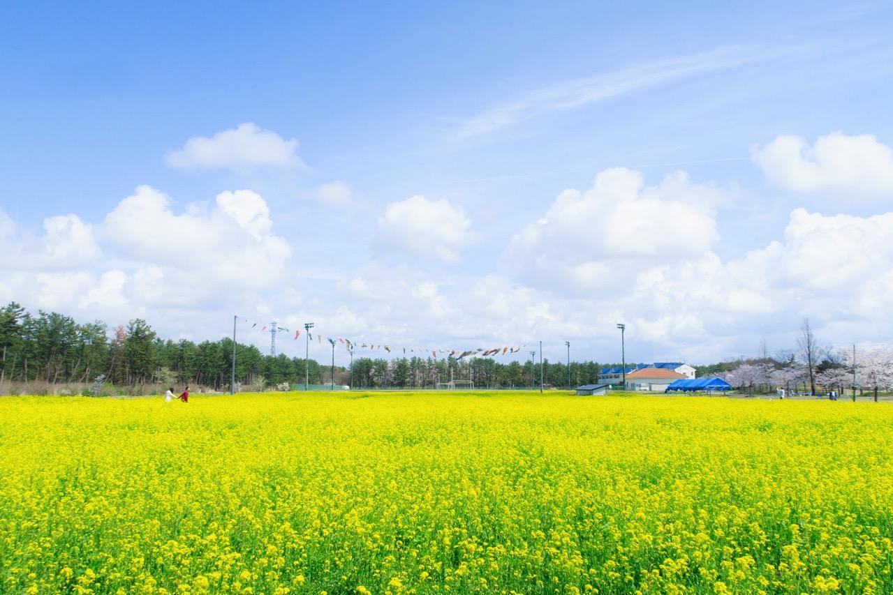 サンルーラル大潟 菜の花