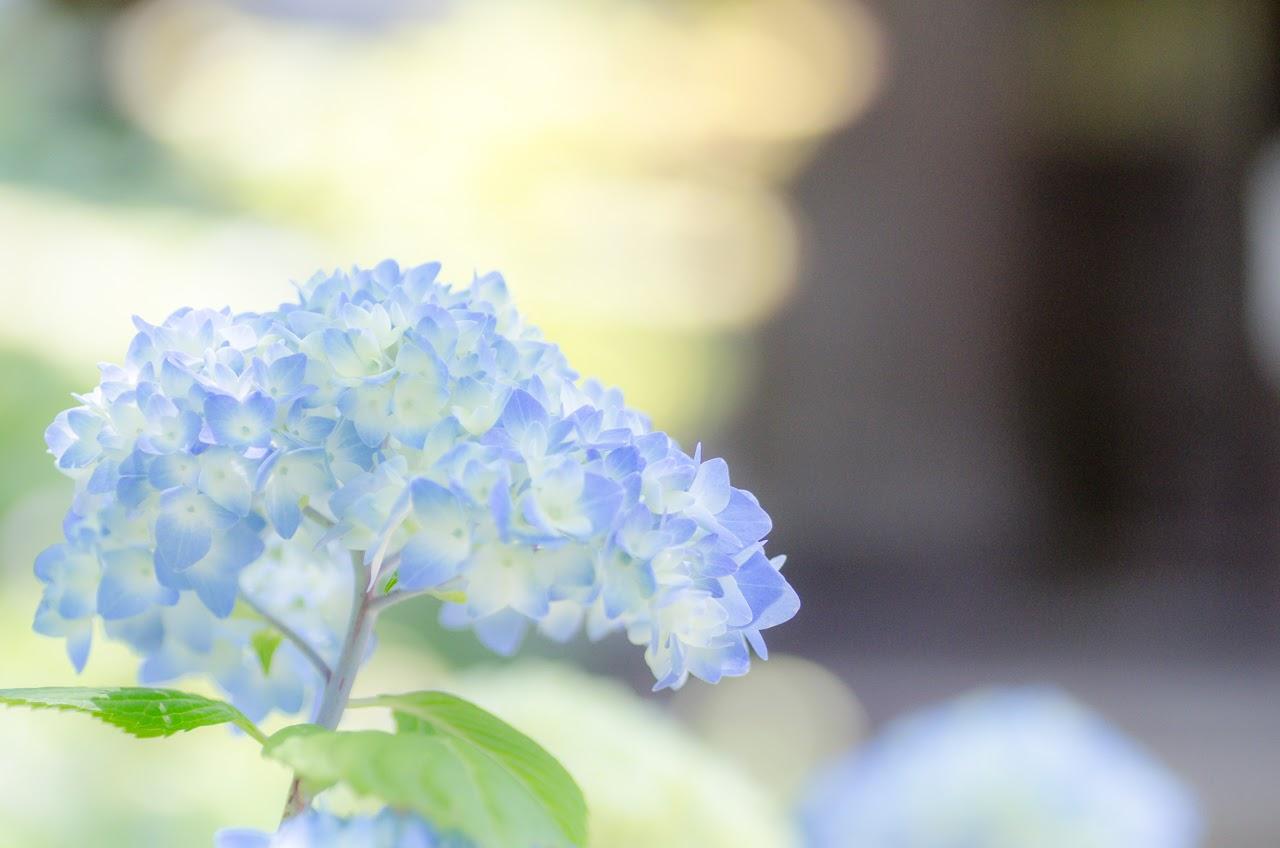 秋田のアジサイ寺 雲昌寺の紫陽花が見頃を向かえています