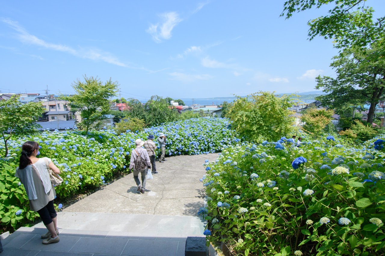 景色が抜群|【秋田のアジサイ寺】男鹿市北浦「雲昌寺」の紫陽花が見頃