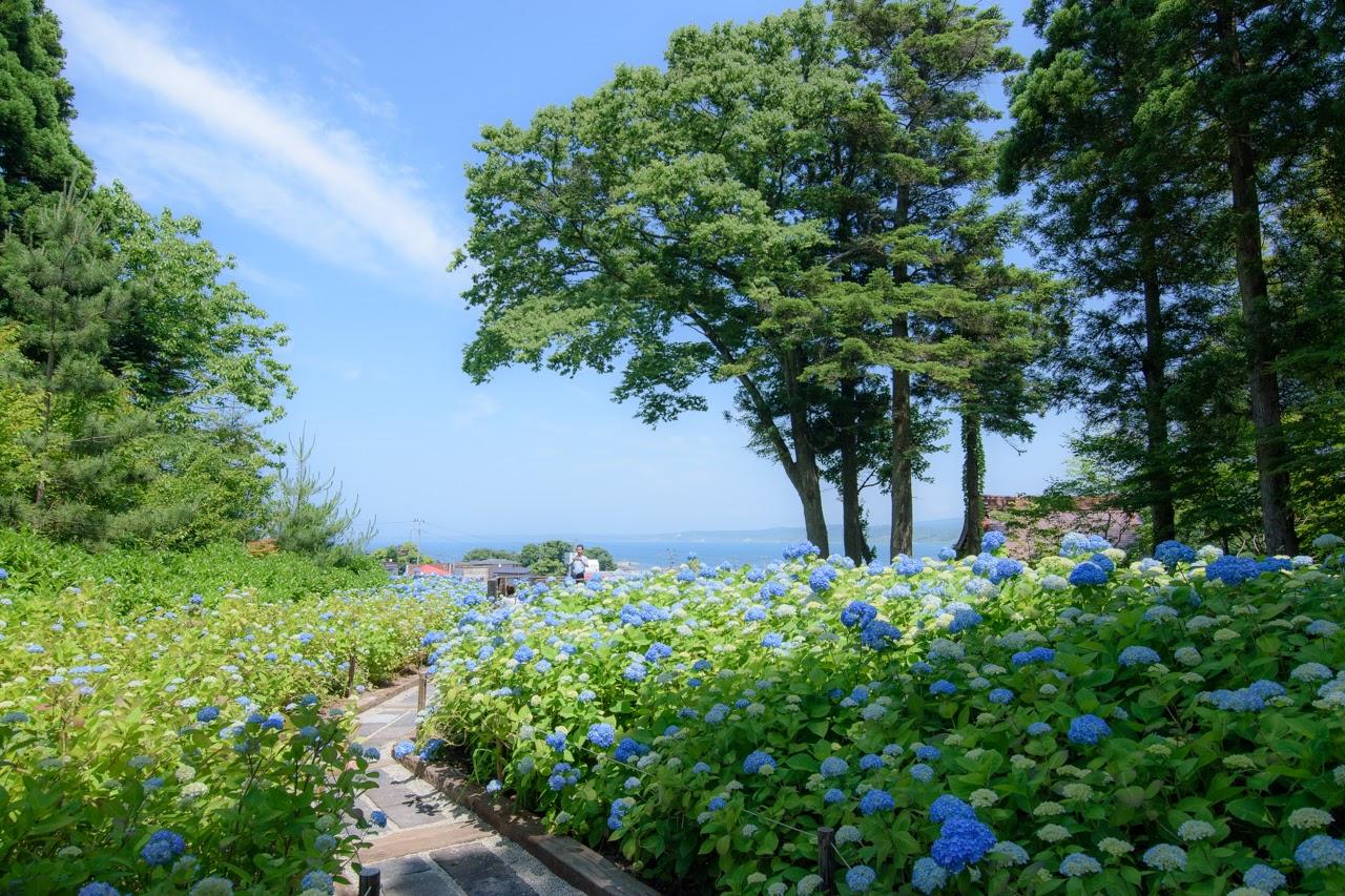 【秋田のアジサイ寺】男鹿市北浦「雲昌寺」の紫陽花が見頃