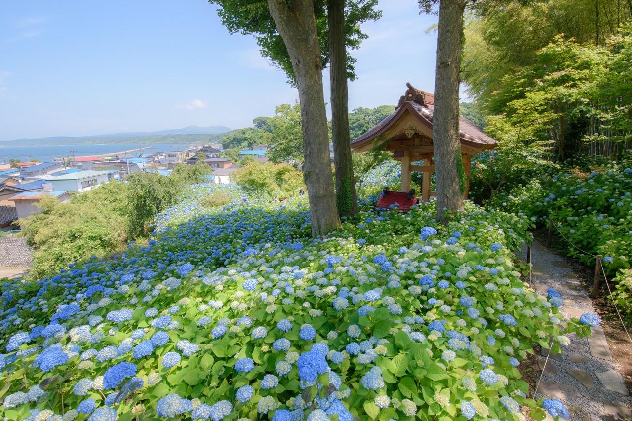 日本海に臨む男鹿のアジサイ寺「雲昌寺」